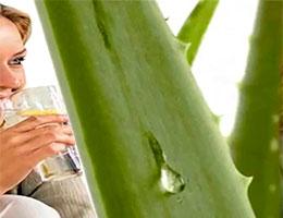 Planta para zumo de aloe vera