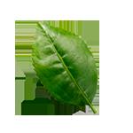 Hoja de té verde Hornimans