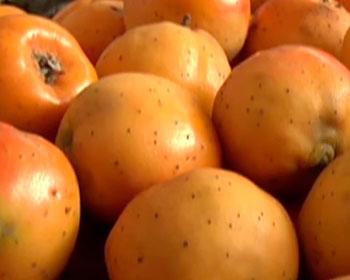 Raiz de tejocotes en frutos