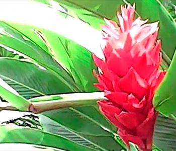 Jengibre rojo