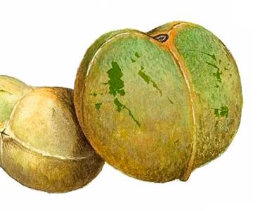 Imagen de semilla de Brasil en su origen